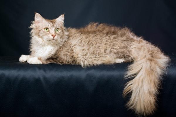 Кошка породы Ла-Перм
