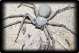 Самые ядовитые пауки