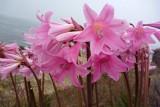 Как ухаживать за цветком Амариллис?